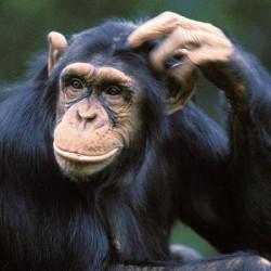 Оказывается, обезьяны умеют разговаривать на иностранном языке