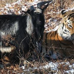 Ульяна Скойбеда: Нет проблем в России, да! Кроме тигра и козла...