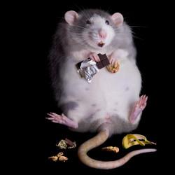 Стихи про российских крыс