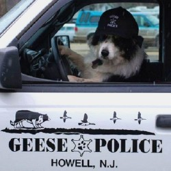 Битва с гусями, или история успеха Geese Police