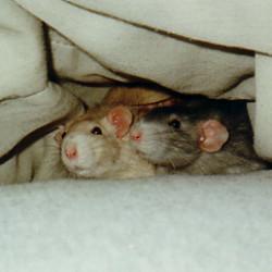 Крысиная телепатия. Грызунов научили читать мысли